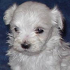 Little White Dog avatar