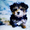 Yorkshire Terrier pup avatar