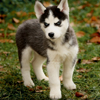 Young husky avatar