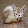 Fennec Fox avatar