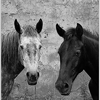 Black and white horses avatar