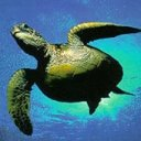 Turtle Underwater 2 avatar