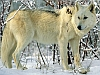 White wolf in the snow avatar