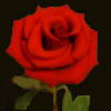 Red rose avatar