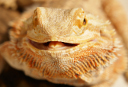 Bearded dragon avatar