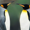 Penguins face off avatar