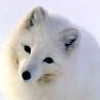 Arctic Fox avatar