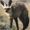Bat-eared fox avatar