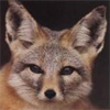 Kit Fox avatar