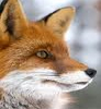 Red Fox face avatar
