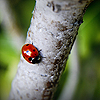 Ladybird on tree avatar