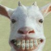 Goat with Braces avatar